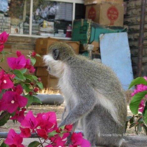 Sodere monkey