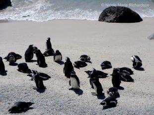 Boulder's penguins