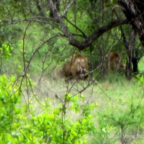 Lion picture with the bad zoom...