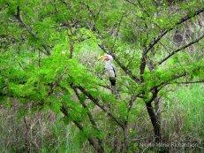Hornbill Zazu