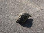 Leopard turtle
