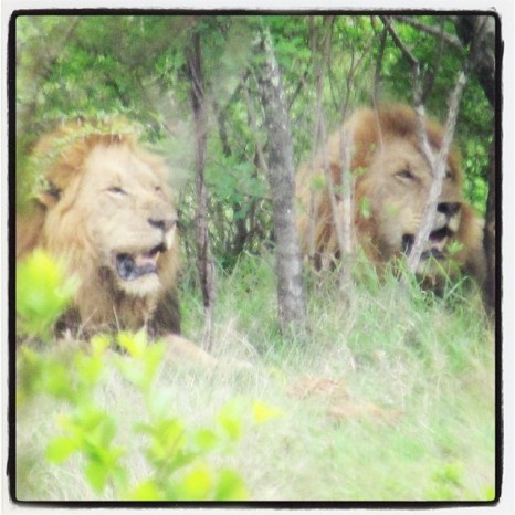 My friend Billie's lion picture with the amazing zoom