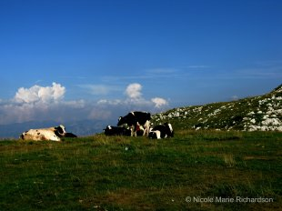 Mountain top cows