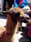 llamas (I think!)