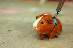 Guinea-Pig-on-A-Leash-l