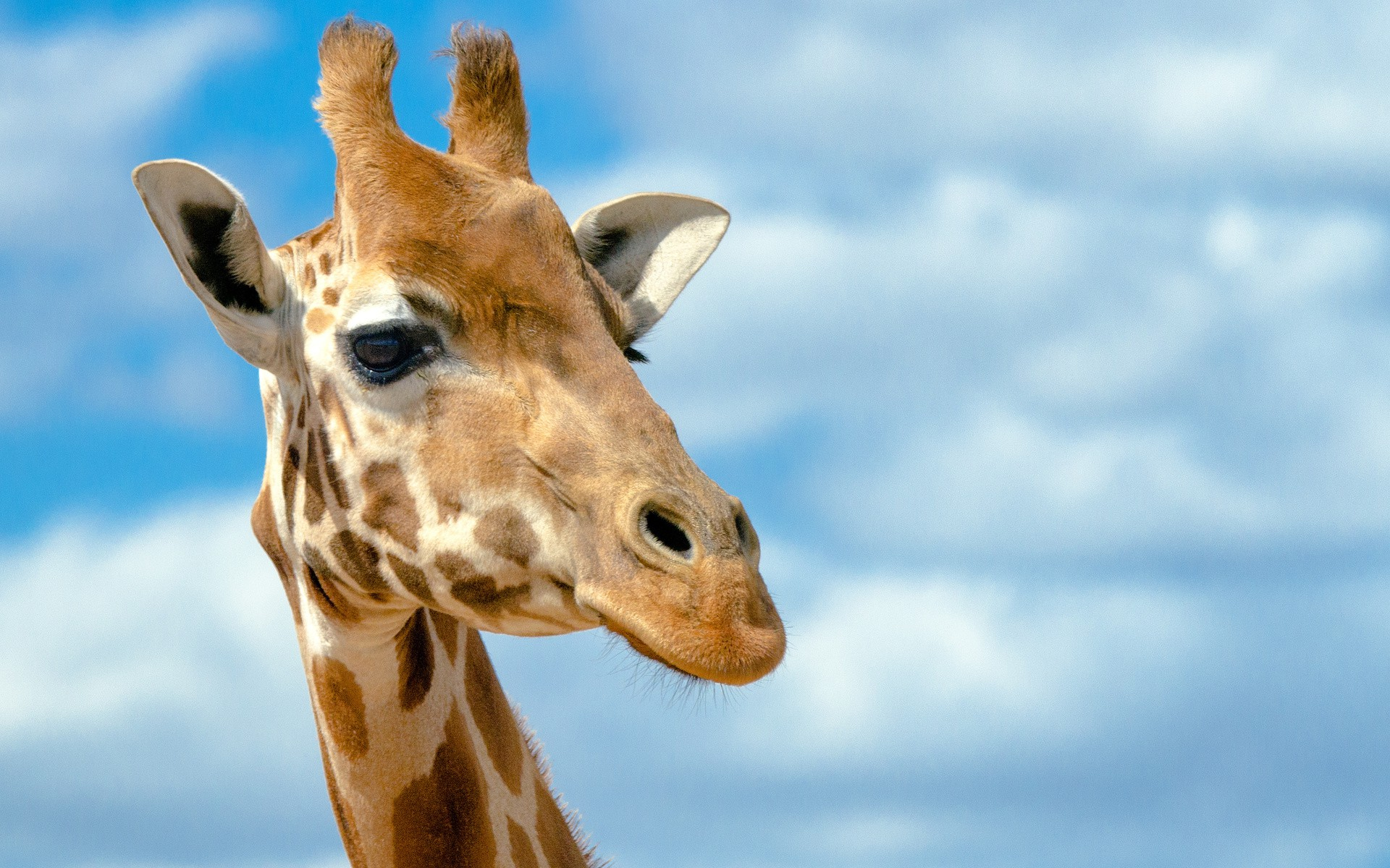beautiful colse up image of giraffe free download best desktop