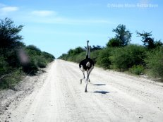 Ostrich running in the road