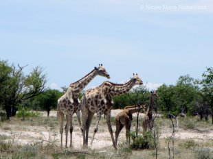 Girrafe family